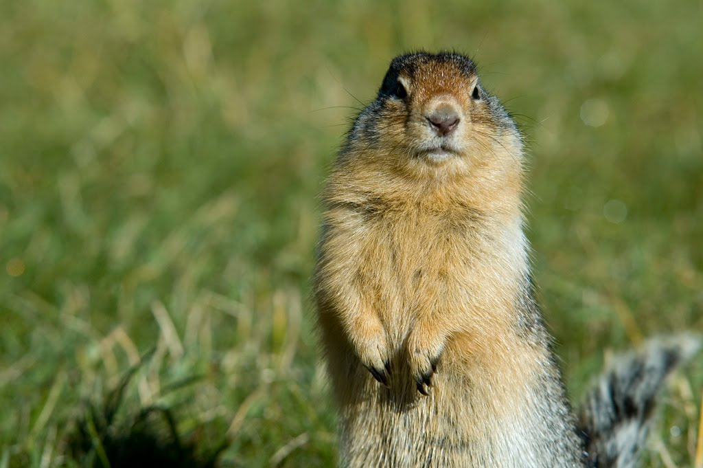 How to get rid of a Gopher